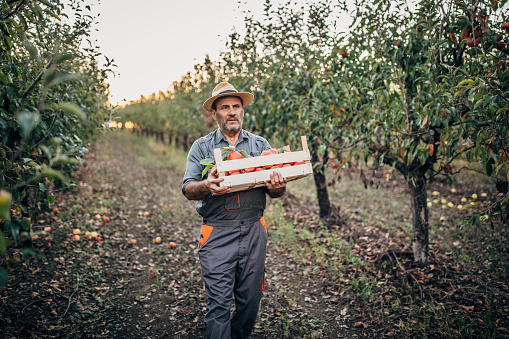 Senior man, senior farmer picking up apples in his orchard.