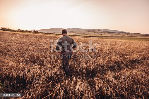 One senior farmer walking through the wheat field, examining his crops before harvesting.