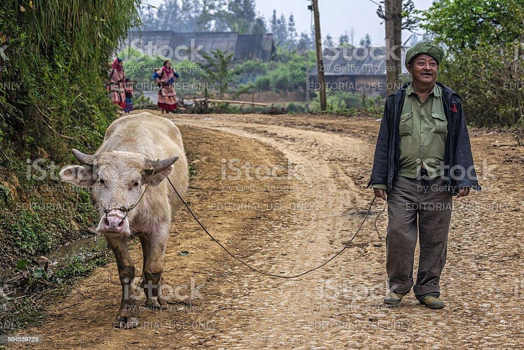 Farmer walks his albino buffalo along mountain road. stock photo