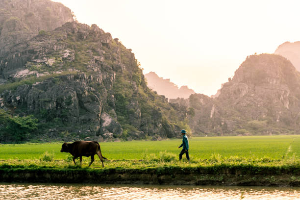 A farmer walks his cow through a rice field and mountains of northern Vietnam. stock photo