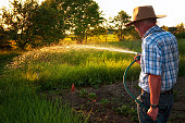 Farmer watering his vegetable garden. Late afternoon golden light illuminates the water spray.