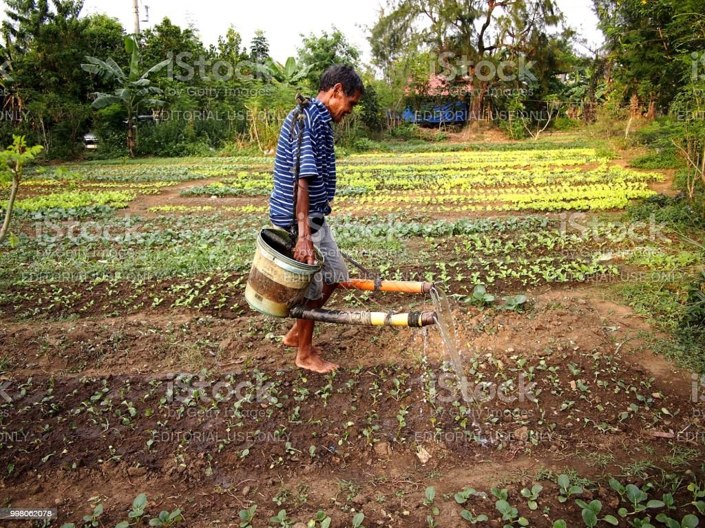 A farmer waters vegetable plants at a vegetable farm. stock photo