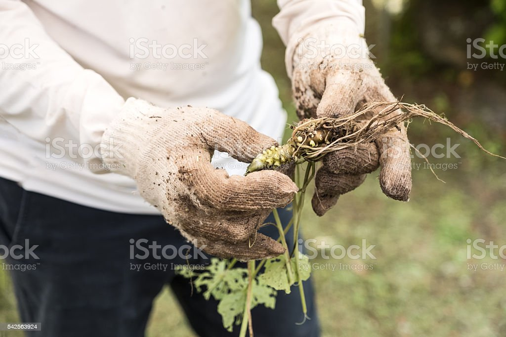 Farmer Wearing Gloves, Holding Freshly Picked Organically Grown Wasabi Plant stock photo