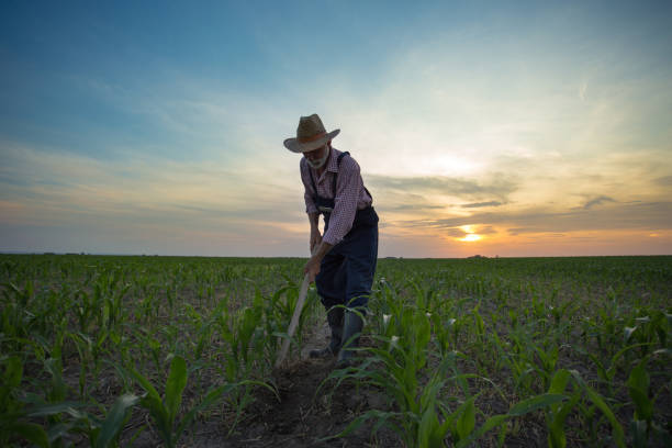 Farmer weeding field with hoe Wide angle view of mature farmer hoeing and weeding corn field at sunset farm worker stock pictures, royalty-free photos & images