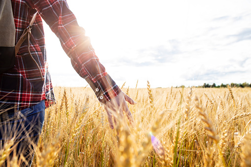 Farmer with a backpack walks through a wheat field (Triticum), touches the spikelets with his hand and checks the crop in the rays of sunlight, with copy space. Rich harvest.