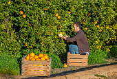 Farmer harvesting oranges at the orchard
