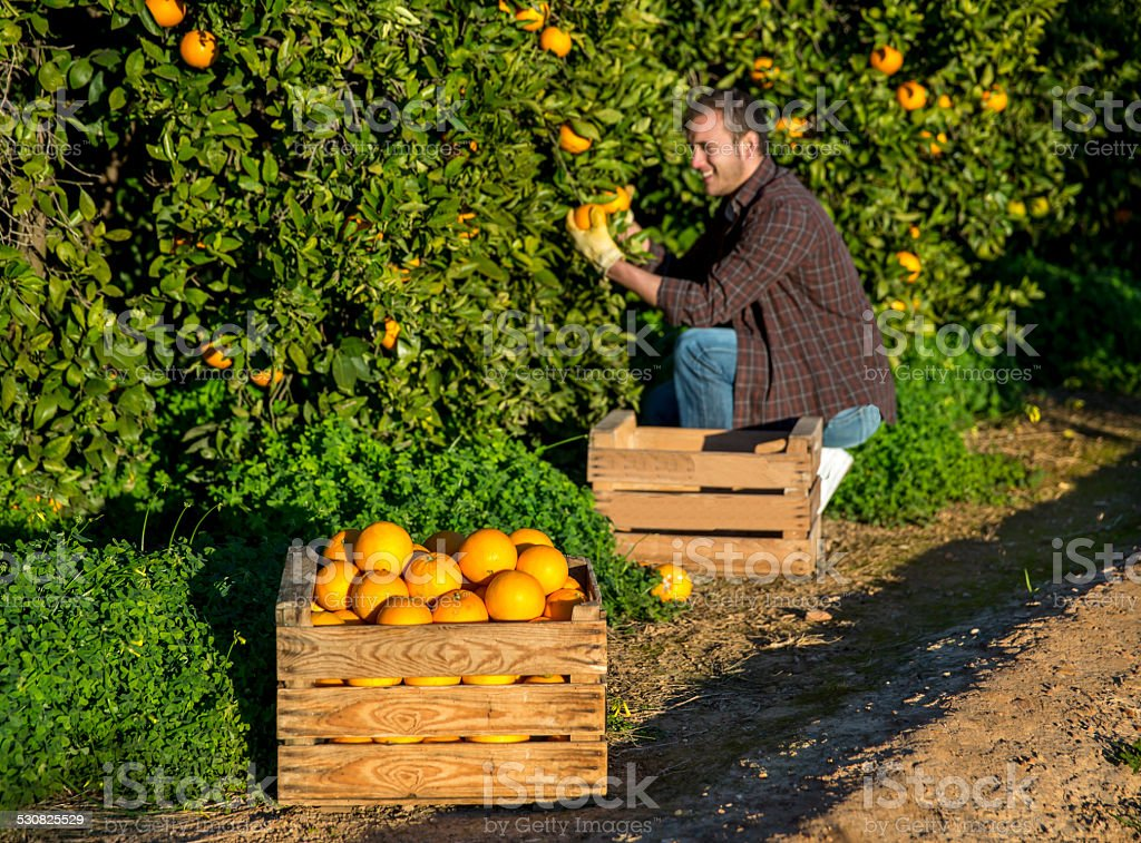 Farmer with a basket of oranges stock photo