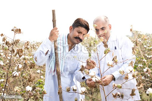 istock Farmer with agronomist checking cotton plant 1064032758