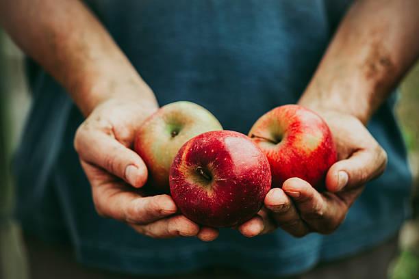agricultor com maçãs - picking fruit imagens e fotografias de stock