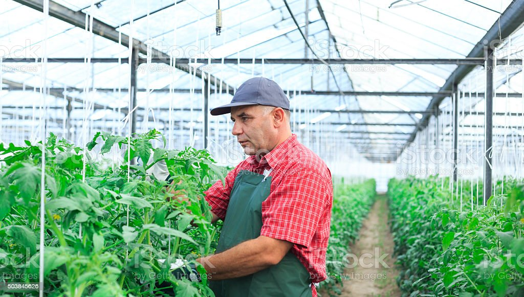 Farmer with apron In Greenhouse Checking status of Plants stock photo