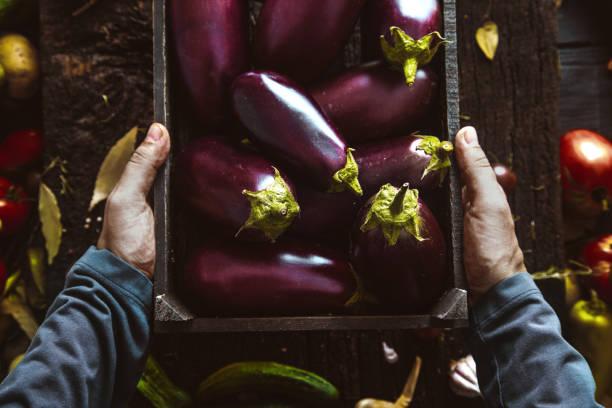 farmer with aubergine. fresh organic egg plant. - melanzane foto e immagini stock