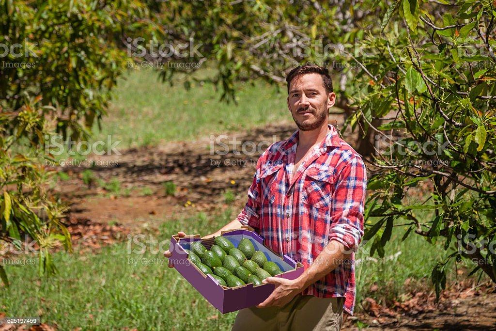 Farmer with avocados stock photo