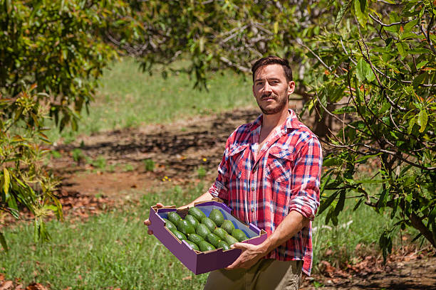 Farmer with avocados stock photo