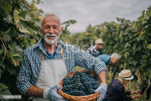 Older man working at vineyard