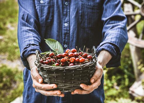 Farmer with cherries