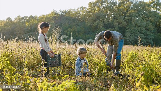 Yong farmer with children harvesting organic sweet potato on the field of eco farm. Son and daughter helping their father working in the field. Manual labour at the field