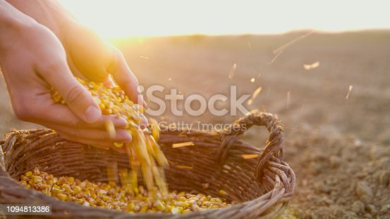 Close-up shot of the hands of a farmer with corn seeds in a basket in a plowed field