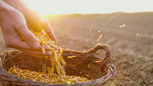 Close-upshot of the hands of a farmer with corn seeds in a basket in a plowed field