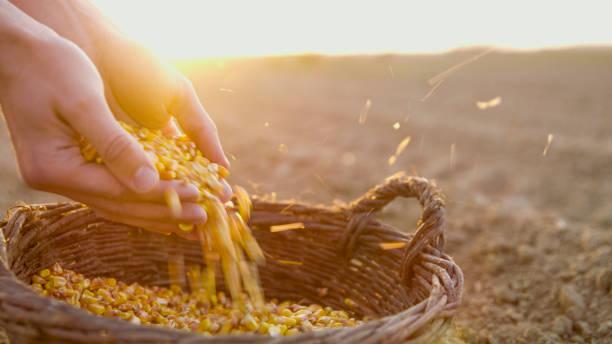 farmer with corn seeds in basket - milho imagens e fotografias de stock