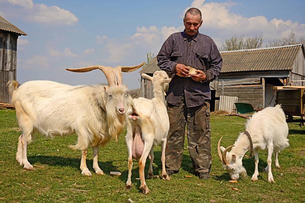 landwirt mit ziegen - ziegenhof stock-fotos und bilder