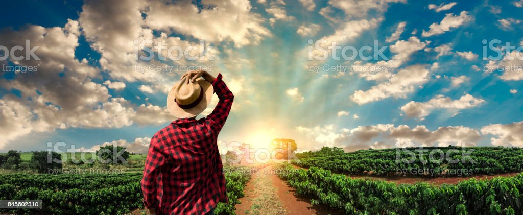 Farmer with hat standing in a coffee plantation stock photo