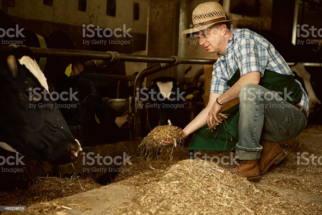 farmer with his cattle in stable holding hay royalty-free stock photo