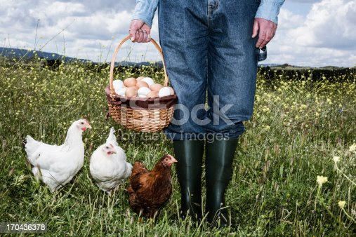 Farmer in field with free range chicken and basket full of eggs
