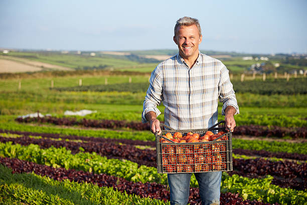 farmer with organic tomato crop on farm - tomato field stock photos and pictures