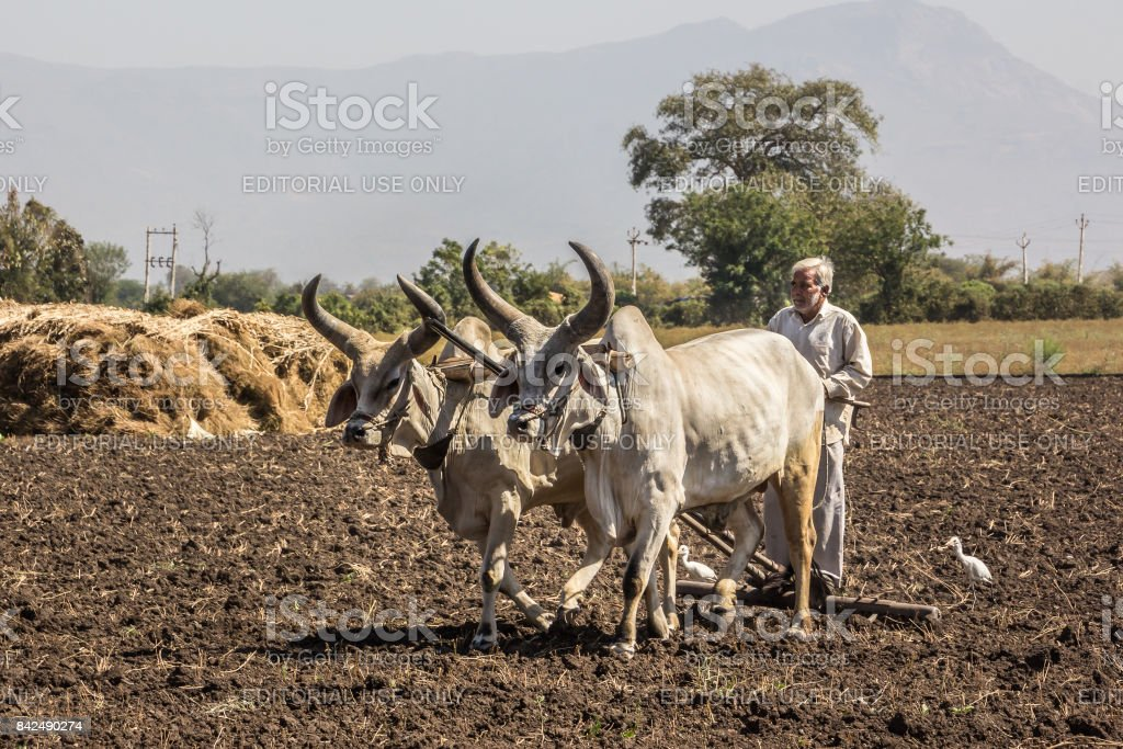farmer with oxen stock photo