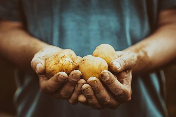 Farmer with potatoes stock photo
