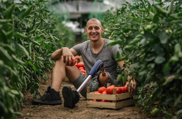 landwirt mit prothese, die kommissionierung tomate - landwirtschaftlicher beruf stock-fotos und bilder