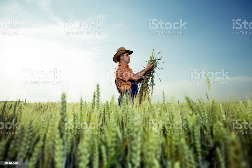 Farmer with wheat in hands - Royalty-free Adulto Foto de stock