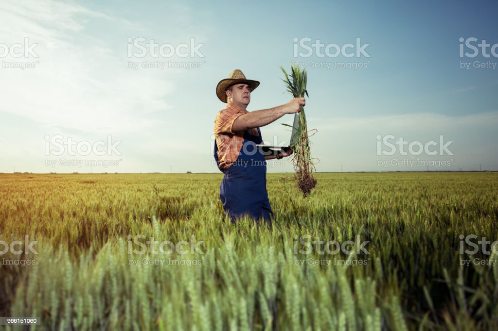 Farmer with wheat in hands - Royalty-free Adult Stock Photo