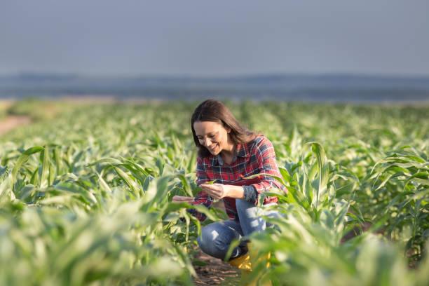 farmer woman checking corn crop in summer - farmer foto e immagini stock