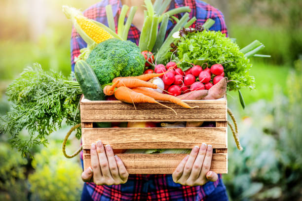 rolnik kobieta trzyma drewniane pudełko pełne świeżych surowych warzyw. - zbierać plony zdjęcia i obrazy z banku zdjęć