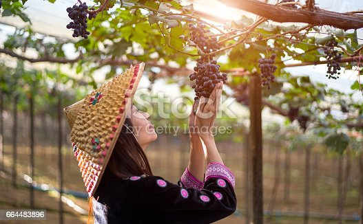 Farmer woman picking grape during wine harvest