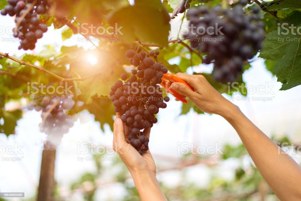 Farmer woman picking grape during wine harvest stock photo