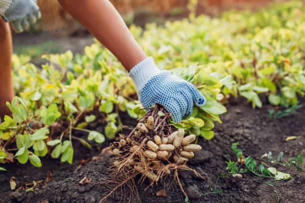 Farmer woman picking peanuts. Autumn harvesting. Farming and gardening concept. Organic farm