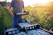 istock Farmer working and picking blueberries on a organic farm - modern business concept. 1254965421