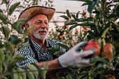 Senior male farmer picking apples at apple orchard