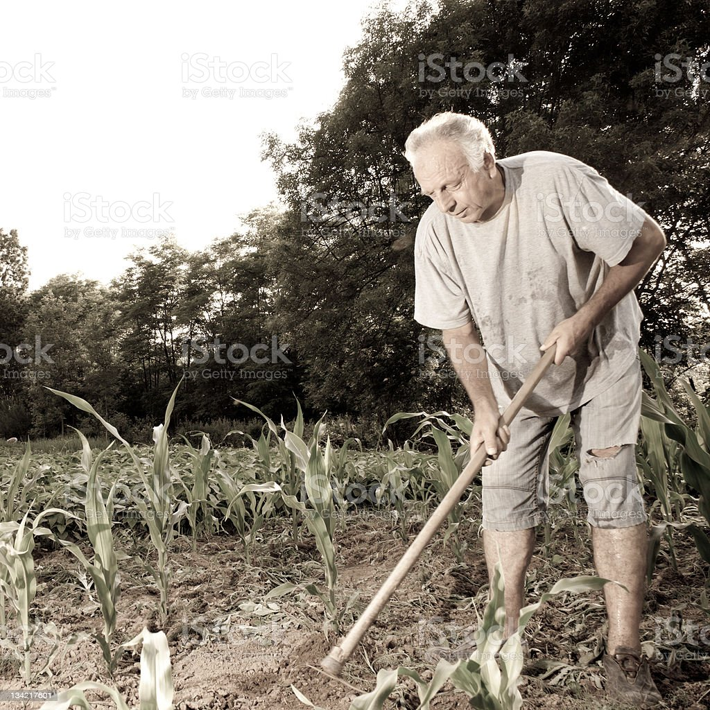 Farmer working in a cornfield royalty-free stock photo