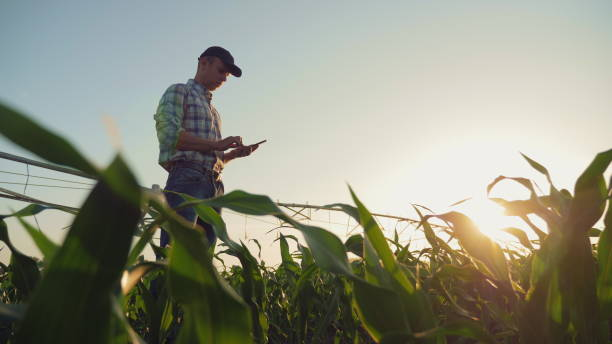 Farmer working in a cornfield, using smartphone Young farmer working in a cornfield, inspecting and tuning irrigation center pivot sprinkler system on smartphone. crop plant stock pictures, royalty-free photos & images