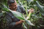 Senior farmer working in corn field