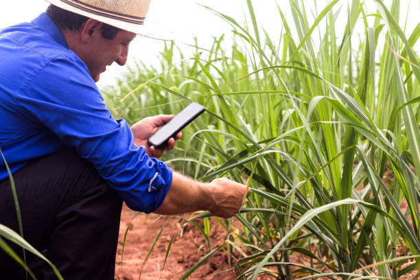 farmer working in the field of sugarcane in brazil. using smartphone for smart farming. concept of economy - canna da zucchero foto e immagini stock