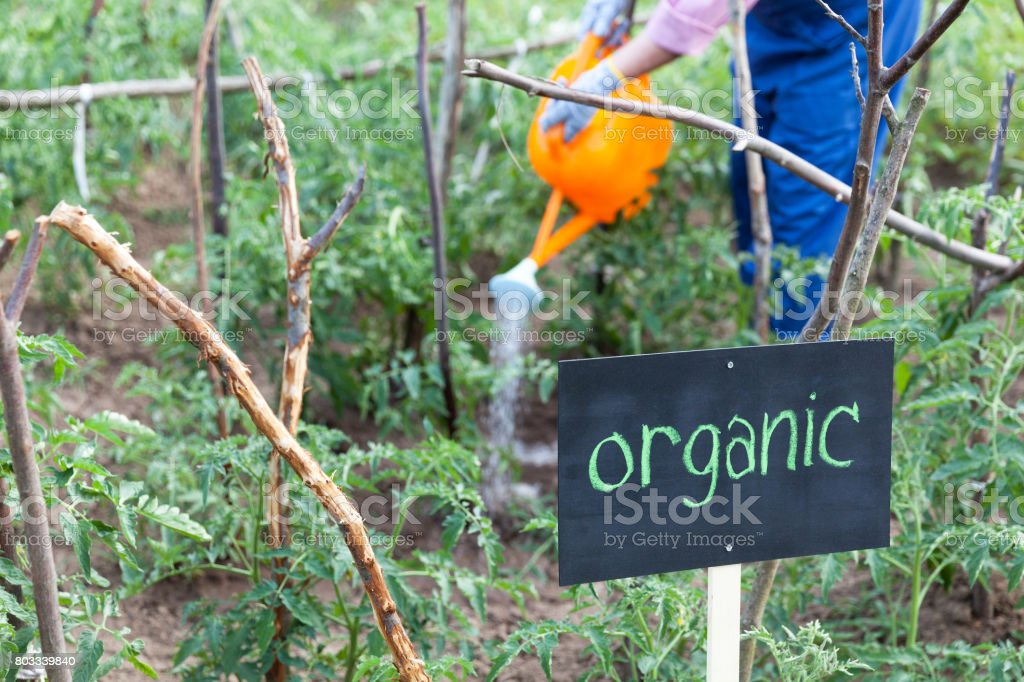 Farmer working in the organic vegetable garden stock photo