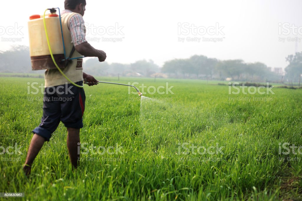 Farmer working in wheat field Farmer working in the field during winter season the field is located in Haryana, India. Active Lifestyle Stock Photo