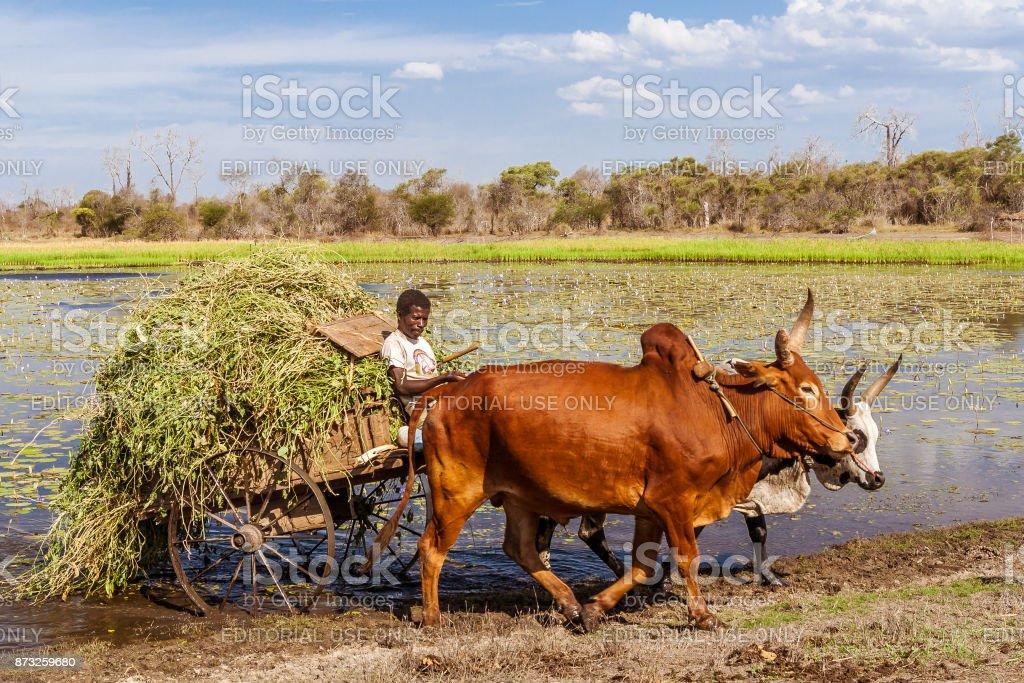Farmer working with his zebu cart stock photo