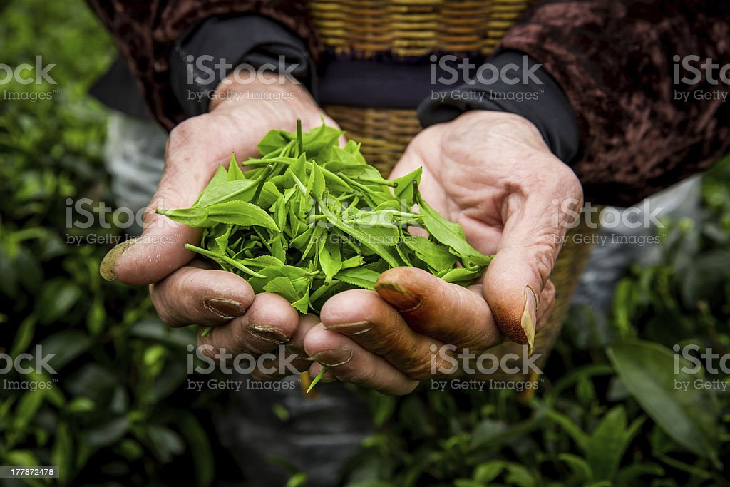Farmer`hands are holding fresh tea leaves in plantation. stock photo