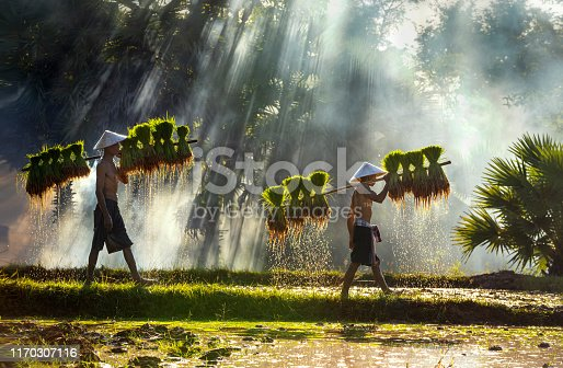 Farmers are carrying seedlings. People in the community are working together to bring rice together. The way of life of Southeast Asian people walking through rural areas, rice fields, Work hard in the rice fields, Thailand.