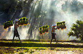 istock Farmers are carrying seedlings. People in the community are working together to bring rice together. The way of life of Southeast Asian people walking through rural areas, rice fields, Work hard in the rice fields, Thailand. 1170307116